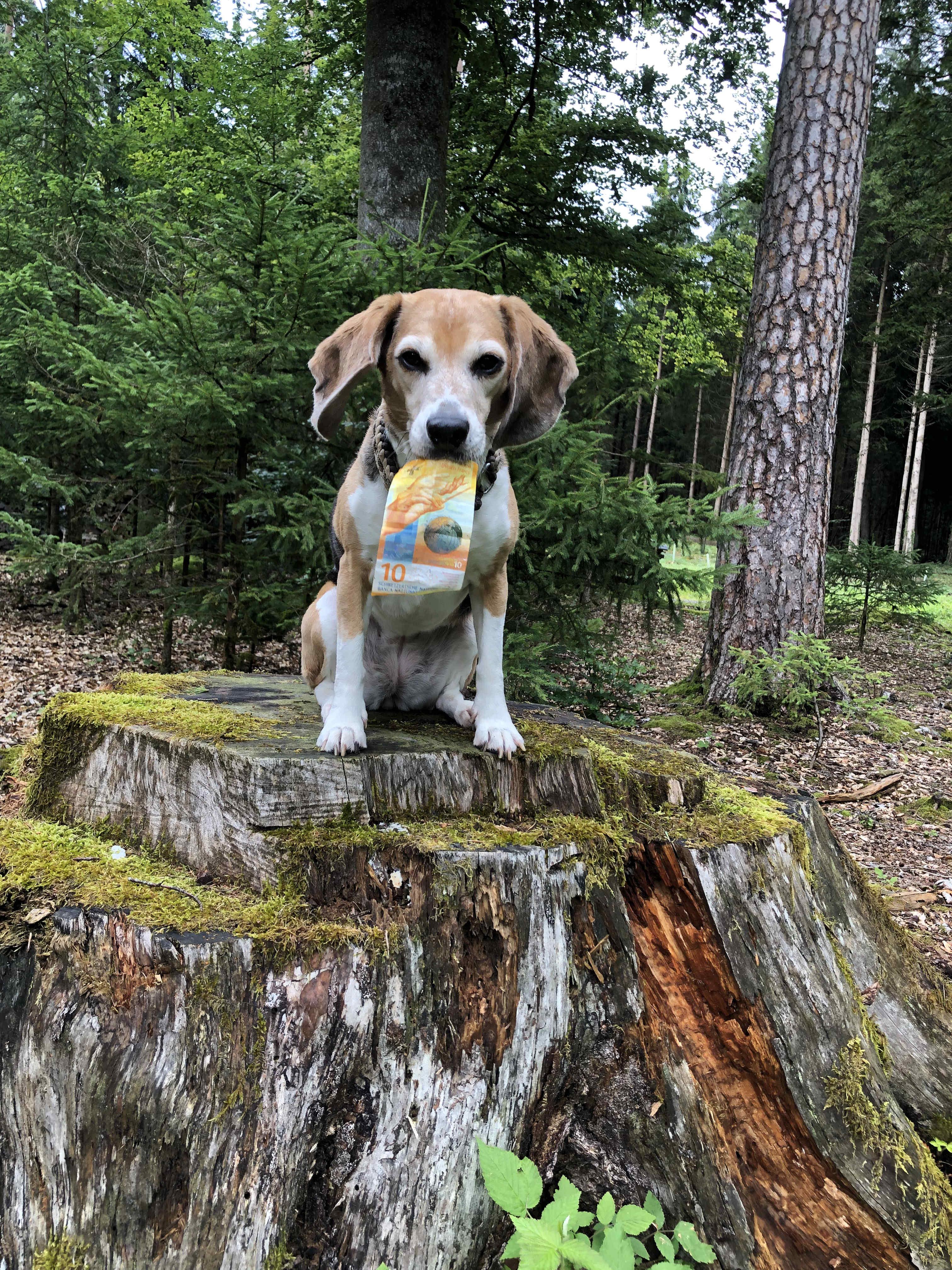 Geldsuche Hund mit Geldschein in der Schnauze